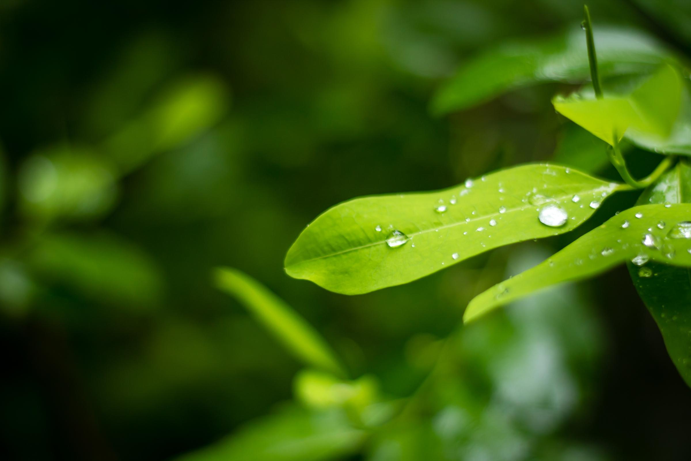 Goutte d'eau sur une feuille verte à Hikkaduwa au Sri Lanka